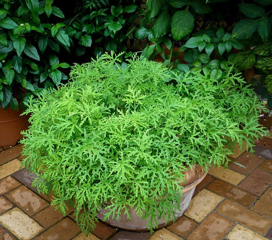 Benefits of Citronella